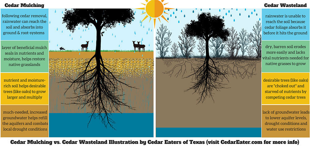 illustration showing cedar mulching vs. cedar wasteland
